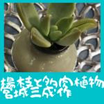 楊枝壺と多肉植物:宮城三成作